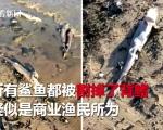 英国海滩现上百条鲨鱼残尸 遭渔民割掉背鳍后扔回大海